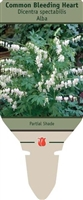 Common Bleeding Heart Dicentra spectabilis 'Alba'