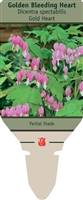 Bleeding Heart Dicentra spectabilis 'Gold Heart'