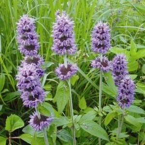 Downy Wood Mint