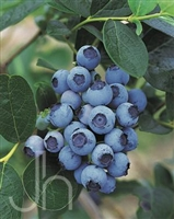 Blueberry Northsky
