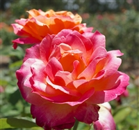 Broadway Hybrid Tea Rose