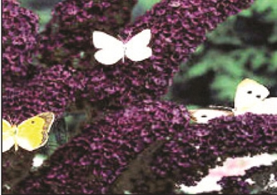 Butterfly Bush Buddleia Buzz Black Knight