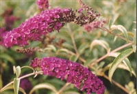 Butterfly Bush Buddleia Royal Red