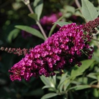 Butterfly Bush Buddleia Buzz Velvet