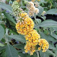Buddleia x Weyeriana 'Golden Glow' Butterfly Bush