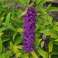 Butterfly Bush Buddleia Humdinger Little Nugget