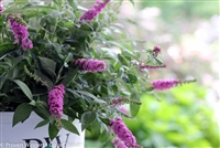Butterfly Bush Buddleia Lo & Behold® 'Pink Micro Chip'