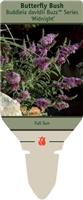 Butterfly Bush Buddleia davidii Midnight