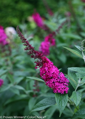 Butterfly Bush Buddleia 'Miss Molly'