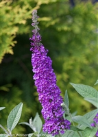 Butterfly Bush Buddleia 'Miss Violet'