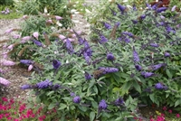 Butterfly Bush Buddleia Pugster Blue