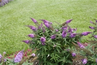 Butterfly Bush Buddleia Pugster Periwinkle