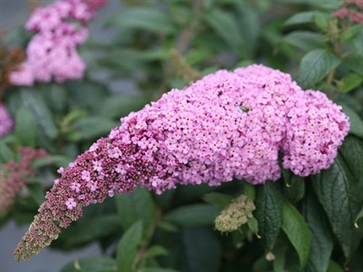 Butterfly Bush Buddleia Pugster Pink