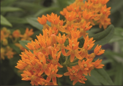 Butterfly Flower Asclepias Tuberosa Orange