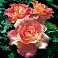 "Cabanaâ""¢ Hybrid Tea Rose"