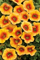 Calibrachoa Superbells® Apricot Punch