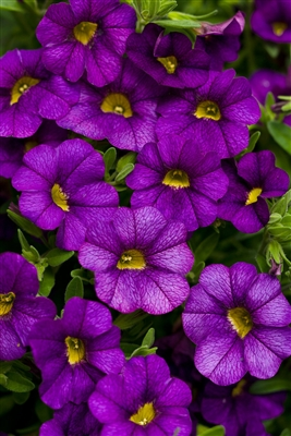 Calibrachoa Superbells® Blue