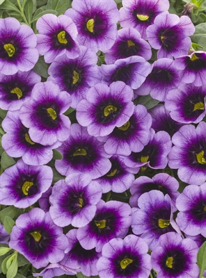 Calibrachoa Superbells Blue Moon Punch