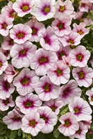 Calibrachoa Superbells® Cherry Blossoms