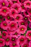 Calibrachoa Superbells® Cherry Red