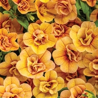 Calibrachoa Superbells Double Amber