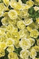 Calibrachoa Superbells® Double Chiffon