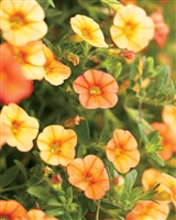 Calibrachoa Superbells® Dreamsicle