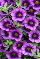 Calibrachoa Superbells® Grape Punch