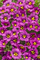 Calibrachoa Superbells Hollywood Star
