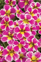 Calibrachoa Superbells Holy Cow!
