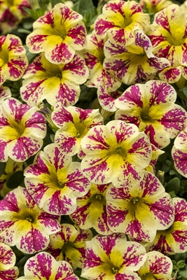 Calibrachoa Superbells® Holy Moly