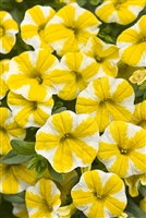 Calibrachoa Superbells® Lemon Slice