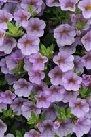 Calibrachoa Superbells® Miss Lilac