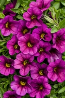 Calibrachoa Superbells® Plum