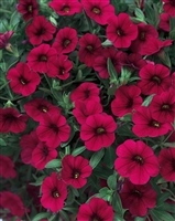 Calibrachoa Superbells® Red