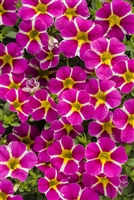 Calibrachoa Superbells Rising Star