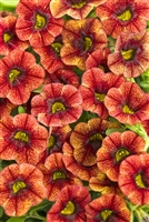 Calibrachoa Superbells® Spicy