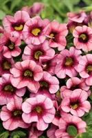 Calibrachoa Superbells® Strawberry Punch
