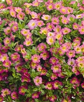 Calibrachoa Superbells® Sweet Tart