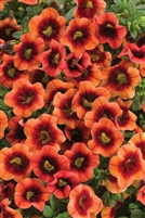 Calibrachoa Superbells Tangerine Punch