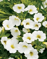 Calibrachoa Superbells® White