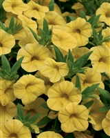 Calibrachoa Superbells® Yellow