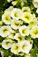 Calibrachoa Superbells® Yellow Chiffon