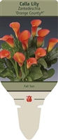 Calla Lily Zantedeschia 'Orange County'