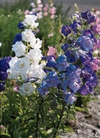 Campanula Bellflower Cup and Saucer Mix