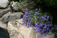 Campanula Carpatica 'Blue Waterfall'