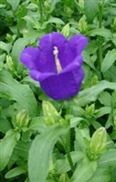 Campanula medium 'Campana Deep Blue'