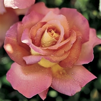 'Chicago Peace' Hybrid Tea Rose