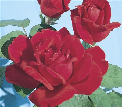 Chrysler Imperial Hybrid Tea Rose