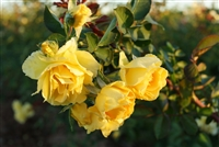 Cl Good Day Sunshine&#0153 Climbing Rose